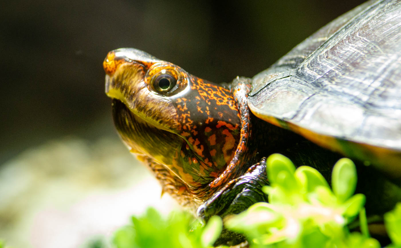 Rotwangenklappschildkröte